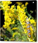Webworm Moth Acrylic Print