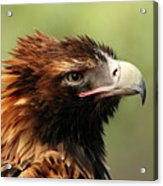 Wedge-tailed Eagle Acrylic Print