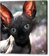Wee Little Kitten Acrylic Print