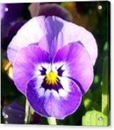 Wee Purple Pansey Acrylic Print