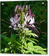 Weed With Whiskers Acrylic Print