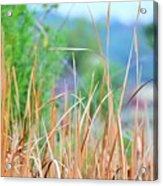 Weeds 033 Acrylic Print