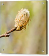 Weeping Willow Seed Acrylic Print
