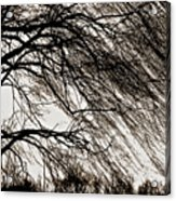 Weeping Willow Tree  Acrylic Print