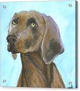 Weimarainer Dog Art Acrylic Print