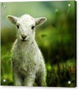 Welsh Lamb Acrylic Print