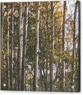 Werifesteria Acrylic Print