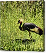 West African Crowned Crane Acrylic Print