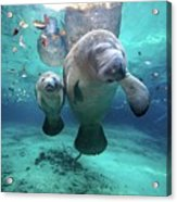 West Indian Manatees Acrylic Print by James R.D. Scott