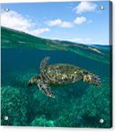 West Maui Green Sea Turtle Acrylic Print
