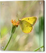 Wester Sulfur Butterfly Acrylic Print