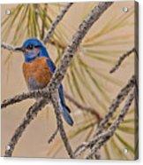 Western Bluebird Male In A Pine Tree.  Acrylic Print