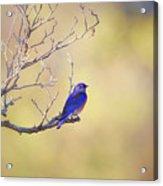 Western Bluebird On Bare Branch Acrylic Print