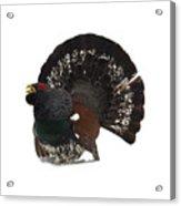 Western Capercaillie Transparent Acrylic Print