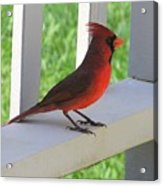 Western Cardinal Acrylic Print