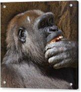 Western Gorilla, Gladys Porter Zoo, Brownsville, Texas Acrylic Print