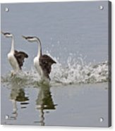 Western Grebe On Lake Acrylic Print