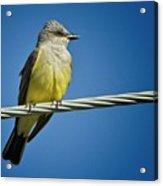 Western Kingbird Acrylic Print