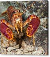 Western Lobster Acrylic Print