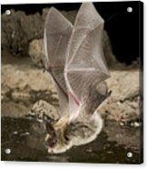Western Long-eared Myotis Drinking Acrylic Print