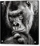 Western Lowland Gorilla Bw II Acrylic Print
