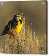 Western Meadowlark at Dawn Acrylic Print