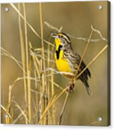 Western Meadowlark Calling For Mate Acrylic Print