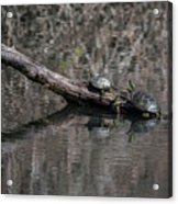 Western Painted Turtles On A Log Acrylic Print