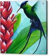 Western Streamertail Hummingbird Acrylic Print