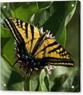 Western Tiger Swallowtail 2 Acrylic Print