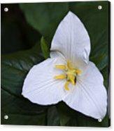 Wildflowers Western Trillium Oregon 1 Acrylic Print