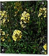 Western Wallflower Along Etiwanda Falls Trail In San Gabriel Mountains-california Acrylic Print