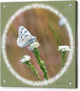Western White Butterfly Acrylic Print