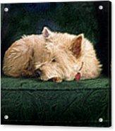 Westie Nap Acrylic Print