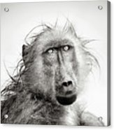 Wet Baboon portrait Acrylic Print