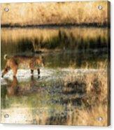 Wet Bob Cat  Acrylic Print