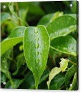 Wet Bushes Acrylic Print