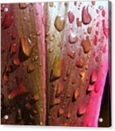 Wet Cordyline Leaf Acrylic Print