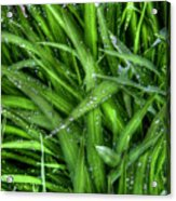 Wet Grass Acrylic Print