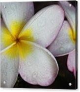 Wet Petals Acrylic Print