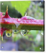 Wet Prick Acrylic Print by Donna Blackhall