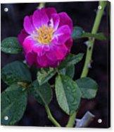 Wet Rose 2 Acrylic Print