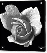 Wet Rose Portrait Acrylic Print