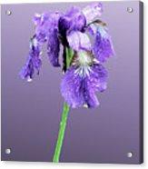 Wet Russian Iris Acrylic Print