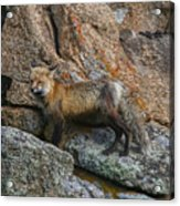 Wet Vixen On The Rocks Acrylic Print