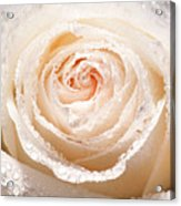 Wet White Rose Acrylic Print