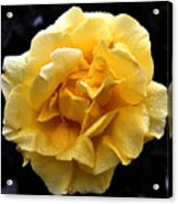 Wet Yellow Rose II Acrylic Print