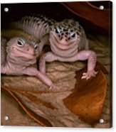 We've Got A Secret - Smiling Leopard Geckos Acrylic Print