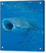 Whale Shark, Ari And Male Atoll Acrylic Print by Mathieu Meur