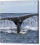 Whale Tail Acrylic Print